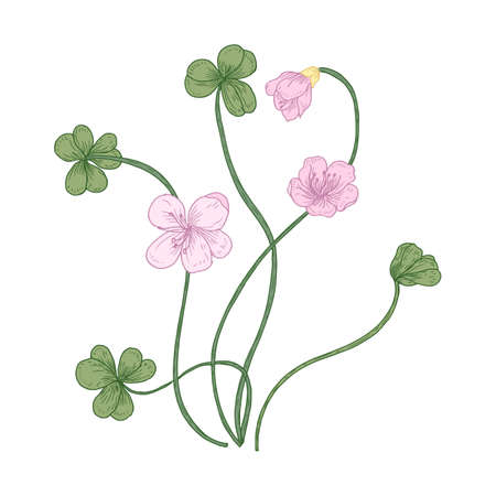 Wood sorrel flowers and trifoliate leaves isolated on white background. Detailed drawing of wild herbaceous flowering plant used in phytotherapy. Natural realistic hand drawn vector illustration