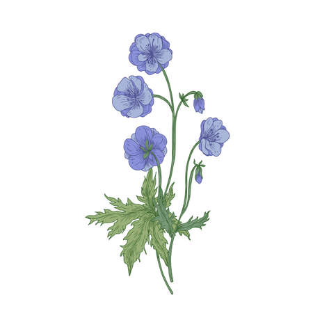 Meadow geranium or crane's-bill flowers isolated on white background. Vintage drawing of wild perennial herbaceous flowering plant used as medicinal herb. Hand drawn botanical vector illustration Vettoriali