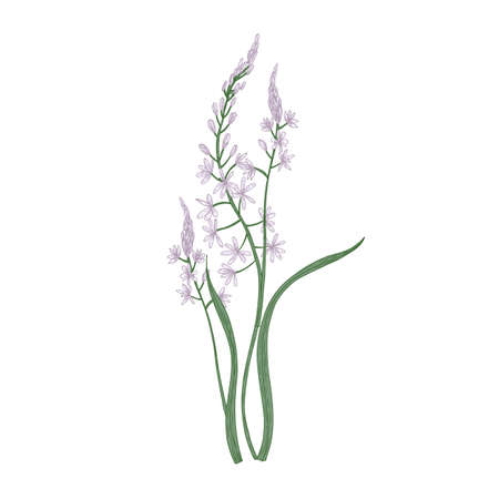Gorgeous camas or quamash flowers isolated on white background. Elegant natural drawing of wild edible perennial herbaceous plant or meadow wildflower. Colorful realistic floral vector illustration