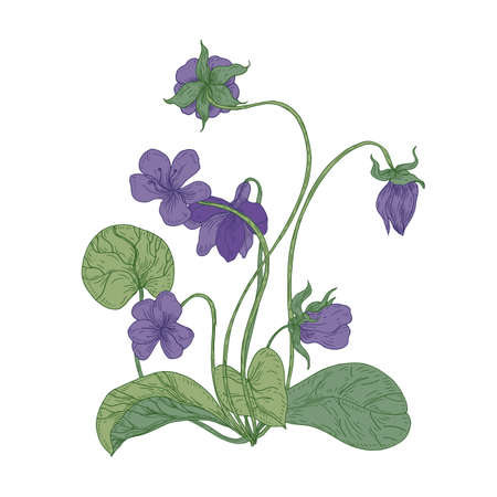 Gorgeous wood violet flowers isolated on white background. Natural drawing of wild herbaceous flowering perennial plant used in herbal medicine. Colorful floral realistic vector illustration