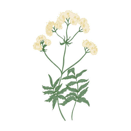 Blooming valerian flowers isolated on white background. Elegant drawing of wild perennial flowering plant or wildflower used as sedative or anxiolytic. Colorful natural hand drawn vector illustration