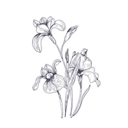 Detailed drawing of spring iris flowers and buds. Seasonal beautiful garden flowering plant isolated on white background. Natural contour hand drawn realistic vector illustration in vintage style