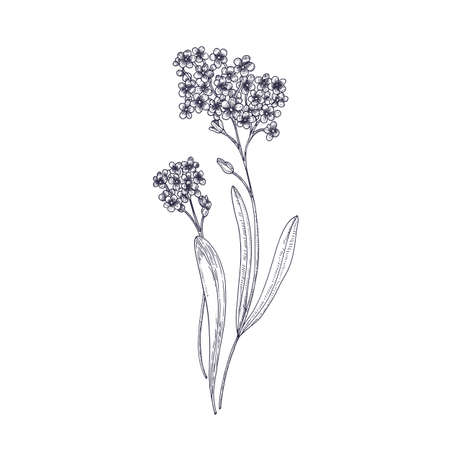 Forget-me-not flowers isolated on white background. Detailed drawing of wild perennial herbaceous flowering plant. Hand drawn contour botanical realistic vector illustration in elegant vintage style