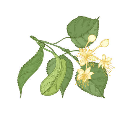 Natural detailed drawing of linden sprig with leaves and beautiful blooming flowers. Gorgeous medicinal plant hand drawn on white background. Decorative design element. Botanical vector illustration Иллюстрация
