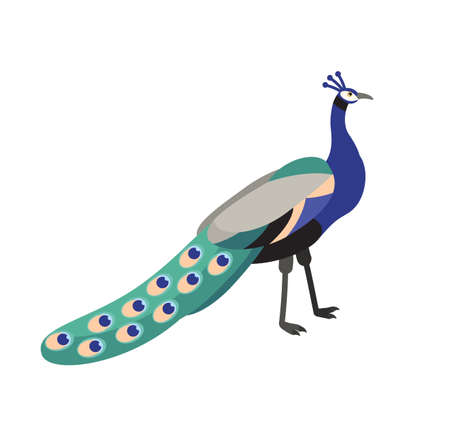 Peafowl or peacock isolated on white background. Beautiful graceful exotic tropical bird with bright colored extravagant plumage. Wild fauna. Colorful vector illustration in flat cartoon style