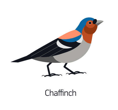 Chaffinch isolated on white background. Lovely adorable passerine bird with vivid plumage. Funny forest wild avian species. Modern colorful vector illustration in trendy flat geometric style