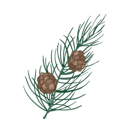 Beautiful botanical drawing of pine branch with needle-like foliage and cones. Evergreen coniferous tree sprig. Traditional seasonal decoration. Natural vector illustration in vintage style Ilustração