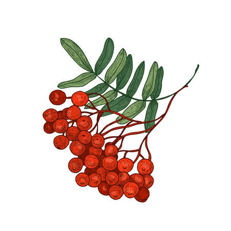 Colored bright rowan tree branch or sprig with leaves and ripe berries hand drawn on white background. Elegant drawing of seasonal plant. Botanical vector illustration in gorgeous vintage style