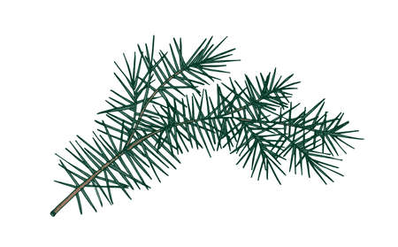 Elegant detailed botanical drawing of fir branch with needle-like foliage. Evergreen coniferous tree sprig hand drawn on white background. Realistic natural vector illustration in vintage style