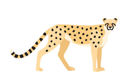 Cheetah isolated on white background. Graceful exotic carnivorous animal or predator with spotted coat. Fast African and Asian wild cat or felid. Colorful vector illustration in flat cartoon style