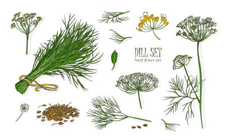Collection of elegant drawings of dill plant with flowers, leaves and seeds isolated on white background. Fragrant herb hand drawn in vintage style. Colorful realistic botanical vector illustration