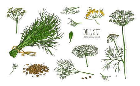 Raccolta di eleganti disegni di piante di aneto con fiori, foglie e semi isolati su sfondo bianco. Erbe profumate disegnate a mano in stile vintage. Illustrazione vettoriale botanica realistica colorata