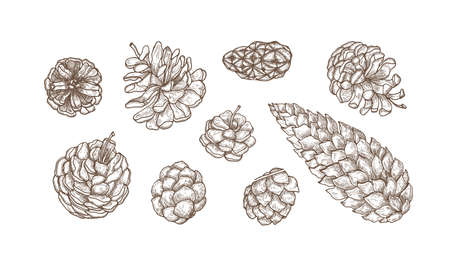 Collection of hand drawn cones of evergreen coniferous trees - pine, spruce, larch. Set of elegant botanical drawings. Bundle of contour illustration isolated on white background. Vector bundle