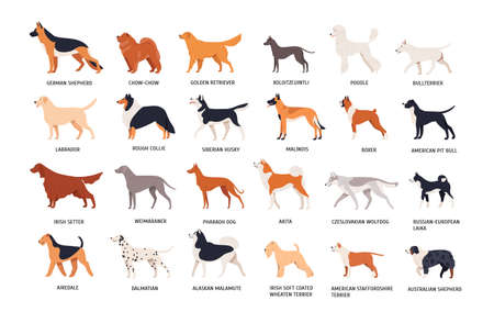 Set of dogs of different breeds isolated on white background. Collection of purebred pets, domestic animals or doggies of various types. Side view. Colored vector illustration in flat cartoon style