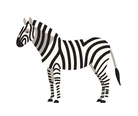 Zebra isolated on white background. Portrait of stunning wild herbivorous animal with stripy coat. Graceful exotic species, African fauna. Colorful vector illustration in flat cartoon style