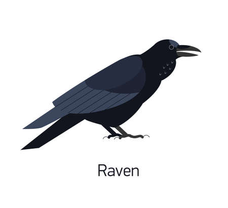 Raven isolated on white background. Intelligent synanthrope bird with black plumage. Beautiful cute wild avian species living in city. Modern vector illustration in trendy flat geometric style