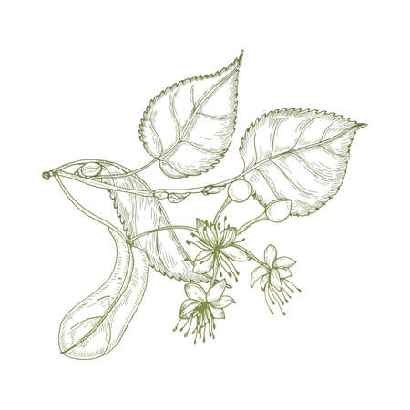 Elegant drawing of linden leaves, beautiful blooming flowers or inflorescence and buds. Plant used in phytotherapy hand drawn with contour lines on white background. Realistic vector illustration