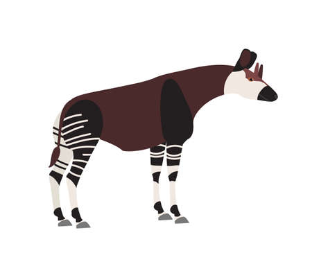 Okapi or forest giraffe isolated on white background. Cute wild herbivorous exotic African animal. Endangered species of Africa, tropical fauna. Colorful vector illustration in flat cartoon style Illustration