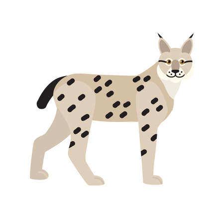 Lynx or bobcat isolated on white background. Portrait of graceful carnivorous feline animal, gorgeous predatory mammal with spotted coat. Wild hunting cat. Vector illustration in flat cartoon style. Çizim
