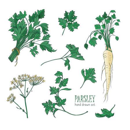 Rysunek botaniczny liści pietruszki, kwiatów lub kwiatostanu i korzenia. Roślina stosowana w kulinariach jako przyprawa lub przyprawa na białym tle. Realistyczne kolorowe ręcznie rysowane ilustracji wektorowych