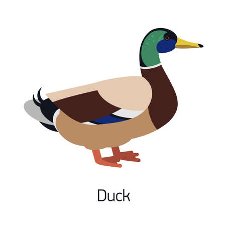 Mallard or dabbling duck isolated on white background. Male of water bird with colorful plumage. Beautiful cute wild avian species, waterfowl. Modern vector illustration in trendy flat style