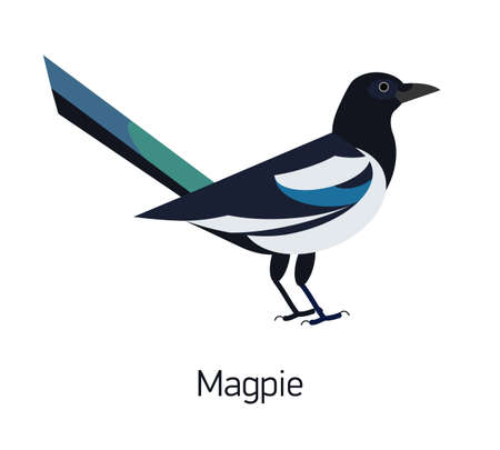 Magpie isolated on white background. Intelligent synanthrope bird with black and white plumage. Cute smart wild corvid, avian species. Modern vector illustration in trendy flat geometric style