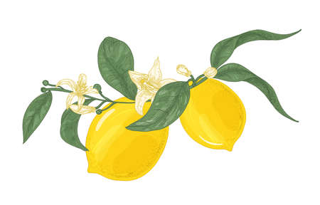 Detailed drawing of lemon plant branch with flowers and leaves isolated on white background. Organic ripe bright yellow citrus fruit. Colored vector illustration hand drawn in elegant vintage style