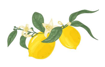 Detaillierte Zeichnung der Zitronenpflanze Zweig mit Blumen und Blättern auf weißem Hintergrund. Bio reife hellgelbe Zitrusfrüchte. Farbige Vektorillustration handgezeichnet im eleganten Vintage-Stil