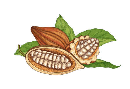 Colorful natural drawing of whole and cut ripe pods or fruits of cocoa tree with beans and leaves isolated on white background. Decorative vector illustration hand drawn in elegant antique style