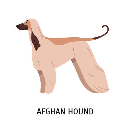 Afghan Hound or Tazi. Gorgeous dog of hunting breed with long hair, side view. Stunning cute purebred pet animal isolated on white background. Colorful vector illustration in flat cartoon style