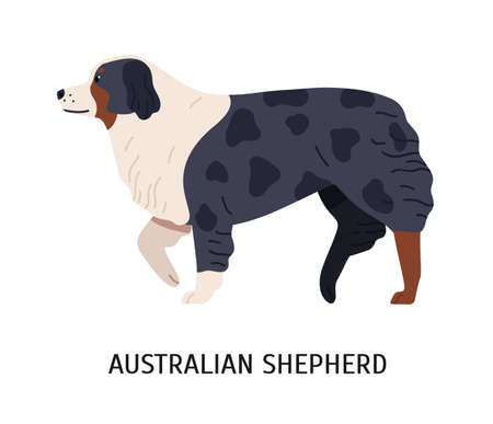 Australian Shepherd or Aussie. Cute purebred herding dog or sheepdog isolated on white background. Beautiful domestic animal or pet of working breed. Colored vector illustration in flat cartoon style