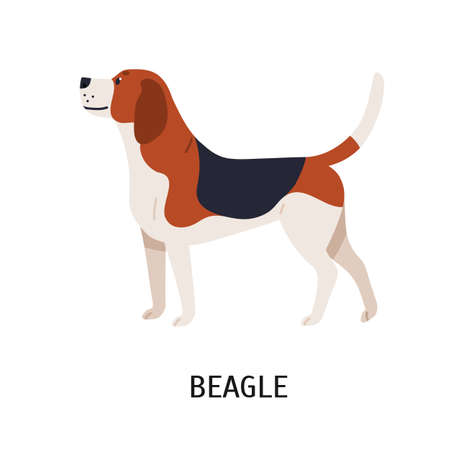 English Beagle. Lovely hunting dog or scenthound with tricolored coat isolated on white background. Gorgeous purebred domestic animal or pet. Colorful vector illustration in flat cartoon style Illustration