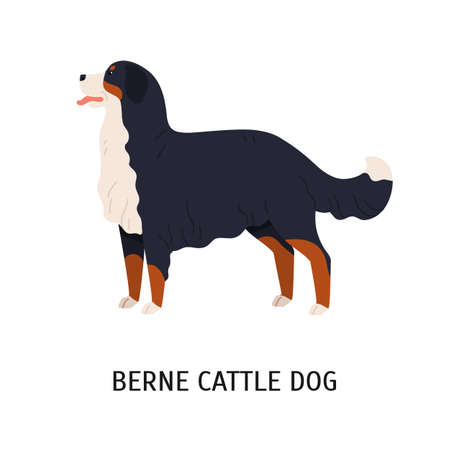 Bernese Cattle Dog or Berner Sennenhund. Gorgeous working dog of Swiss breed isolated on white background. Cute purebred domestic animal or pet. Colorful vector illustration in flat cartoon style