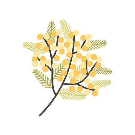Branch of Silver Wattle or Mimosa with gorgeous blooming yellow flowers and leaves. Spring plant. Natural decorative design element isolated on white background. Flat floral vector illustration