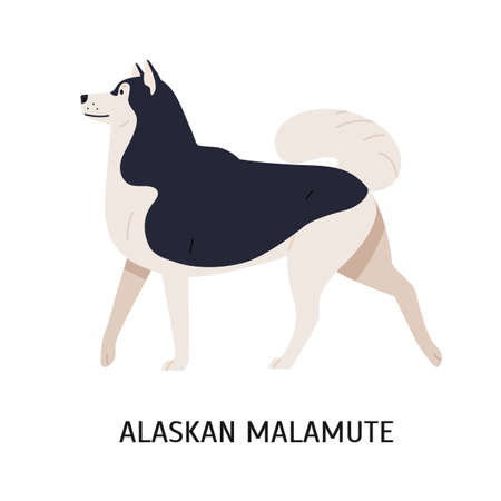 Alaskan Malamute. Cute purebred sled dog with fluffy coat isolated on white background. Funny lovely domestic animal or pet of Arctic breed. Colorful vector illustration in flat cartoon style