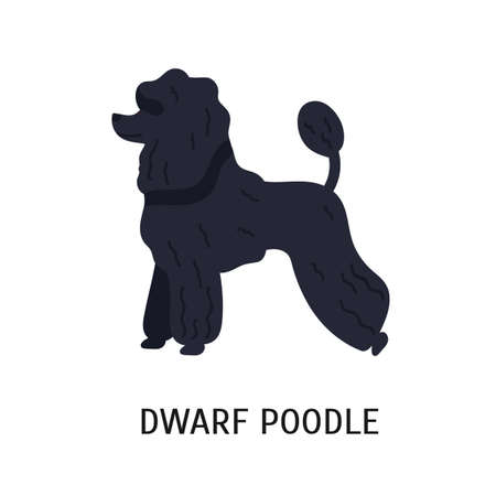 Dwarf or Miniature Poodle. Small purebred companion dog with curvy coat isolated on white background. Adorable funny domestic animal or pet. Colorful vector illustration in flat cartoon style