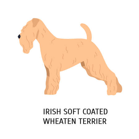 Irish Soft-Coated Wheaten Terrier. Lovely dog of working breed isolated on white background. Fluffy purebred domestic animal, doggy with curly coat. Colorful vector illustration in flat cartoon style