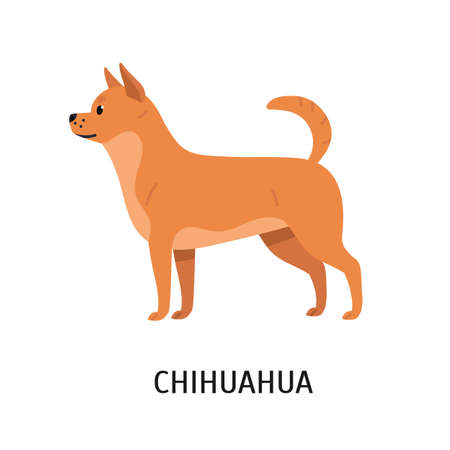 Chihuahua. Adorable small purebred toy dog or lapdog isolated on white background. Beautiful cute domestic animal or pet of short-haired breed. Colored vector illustration in flat cartoon style. Illustration