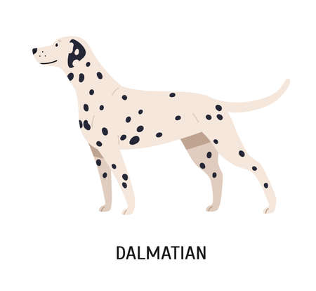 Dalmatian. Gorgeous funny purebred dog isolated on white background. Beautiful cute domestic animal or pet with spotted short-haired coat. Colorful vector illustration in flat cartoon style Illustration