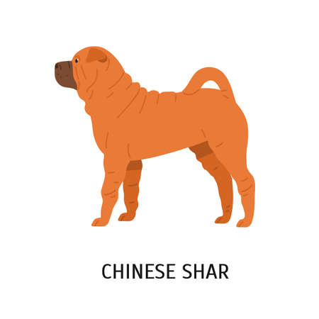 Chinese Shar Pei. Cute funny dog of fighting breed isolated on white background. Gorgeous purebred domestic animal or pet with wrinkled skin. Colorful vector illustration in flat cartoon style.