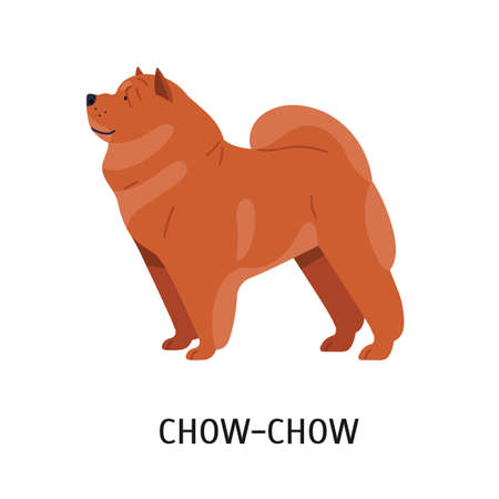 Chow Chow. Cute lovely companion dog with wrinkled skin and dense fur isolated on white background. Adorable pretty purebred domestic animal or pet. Vector illustration in flat cartoon style