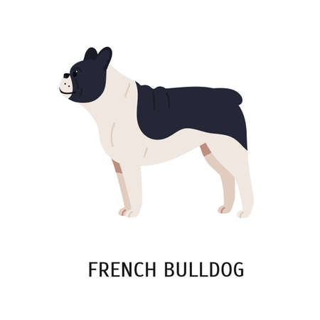 French Bulldog or Frenchie. Funny dog of short-haired breed isolated on white background. Adorable pretty purebred domestic animal or pet. Colorful vector illustration in flat cartoon style.