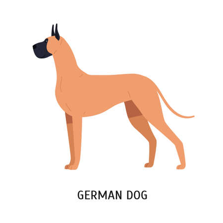 Great Dane or German Mastiff. Gorgeous large dog of short haired hunting breed isolated on white background. Stunning purebred domestic animal or pet. Vector illustration in flat cartoon style.  イラスト・ベクター素材