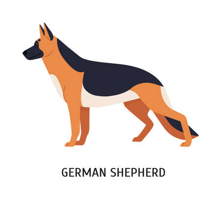 German Shepherd. Large smart herding or stock dog isolated on white background. Stunning purebred domestic animal or pet of working breed. Colorful vector illustration in flat cartoon style Vettoriali