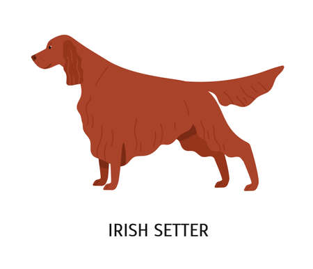 Irish Setter. Stunning cute dog of hunting breed or gundog isolated on white background. Funny adorable purebred domestic animal or pet with red long-haired coat. Flat cartoon vector illustration