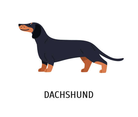 Dachshund. Adorable hunting dog or scenthound with short-haired coat isolated on white background. Gorgeous purebred domestic animal or pet. Colorful vector illustration in flat cartoon style.