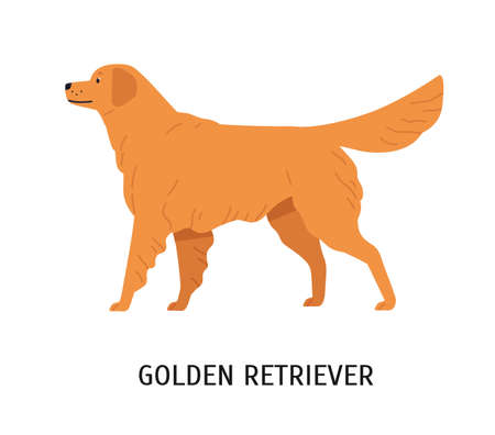 Golden Retriever. Gorgeous hunting dog or gundog isolated on white background. Cute lovely purebred domestic animal or pet. Breed standard. Colorful vector illustration in flat cartoon style.