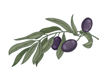 Detailed botanical drawing of olive tree branch with leaves and black fruits or drupes isolated on white background. Colorful realistic hand drawn vector illustration in elegant vintage style