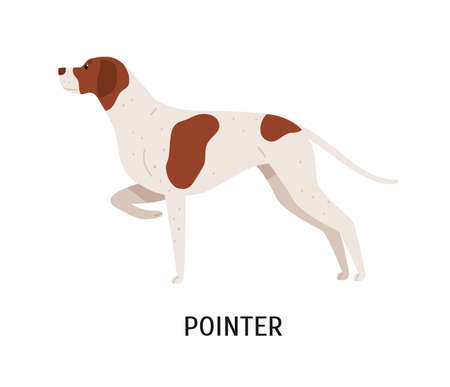 English Pointer. Lovely cute dog or gundog with short-haired coat isolated on white background. Adorable purebred domestic animal or pet of hunting breed. Flat cartoon colorful vector illustration Ilustração