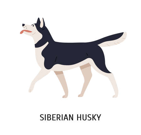 Siberian Husky. Charming playful working or sled dog of northern breed isolated on white background. Adorable purebred domestic animal or pet. Colored vector illustration in flat cartoon style. Illustration